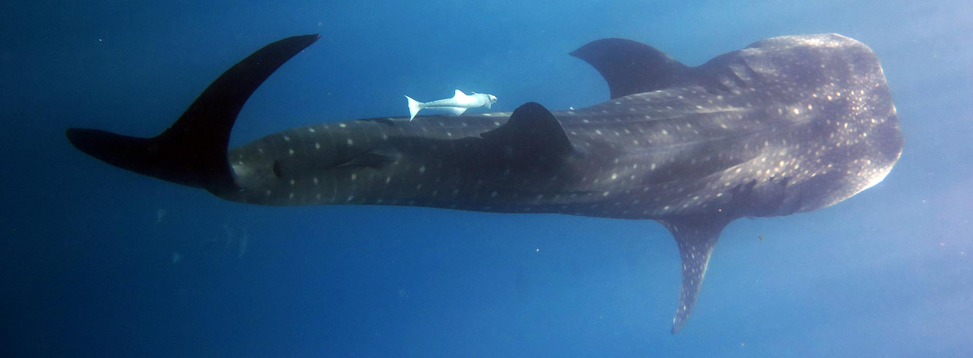 Manta Diving Nosy Be - Whale Shark Whatching