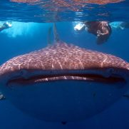 manta-diving-nosy-be-whale-shark-whatching-gallery-01