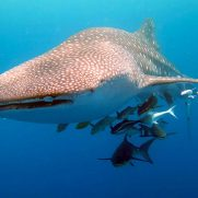 manta-diving-nosy-be-whale-shark-whatching-gallery-04