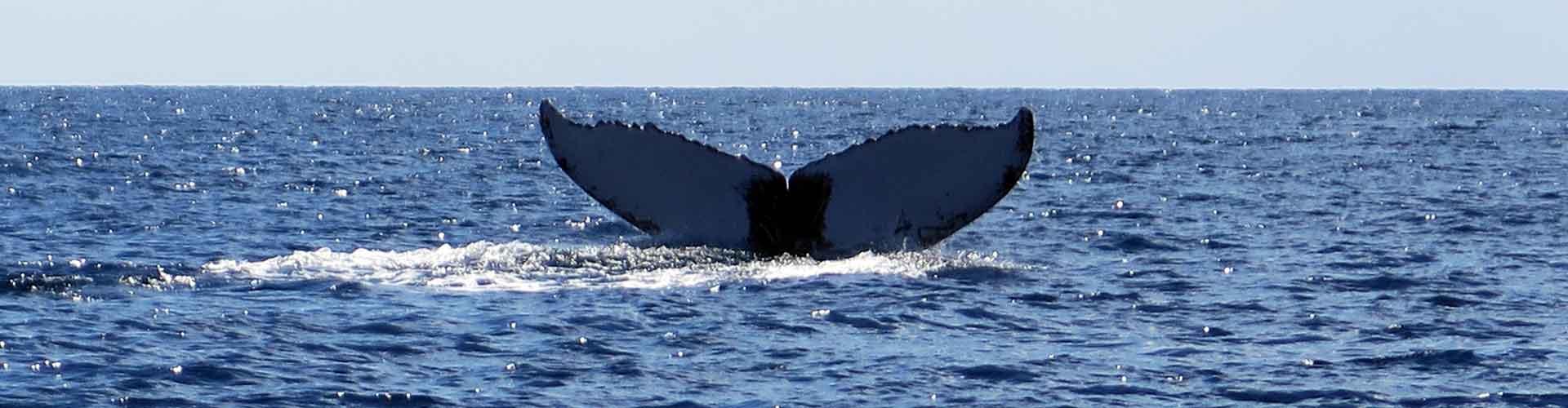 Manta Diving - Biologia marina - Megattere