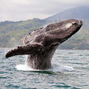 manta-diving-nosy-be-whale-watching-in-madagascar-gallery-01