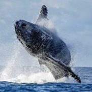 manta-diving-nosy-be-whale-watching-in-madagascar-gallery-04