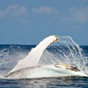 manta-diving-nosy-be-whale-watching-in-madagascar-gallery-05