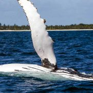 manta-diving-nosy-be-whale-watching-in-madagascar-gallery-07