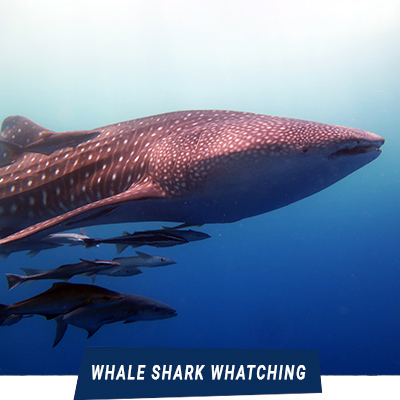 Manta Diving Nosy Be - Whale Shark Wathcing