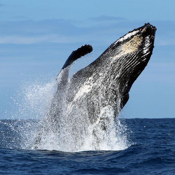 Manta Diving - Nosy Be - Biologia - Balene