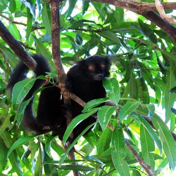 Manta Diving - Nosy Be - Biologia - Lemuri
