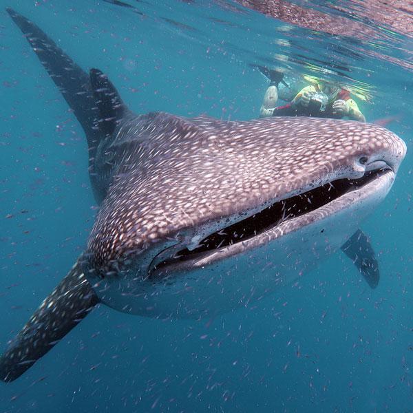 Manta Diving - Nosy Be - Biologia - Squali Balena