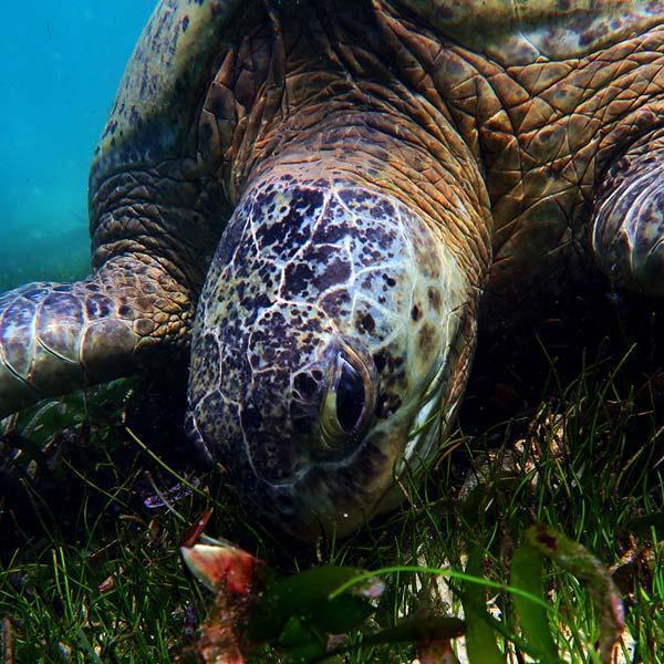 Manta Diving - Nosy Be - Biologia - Tartarughe